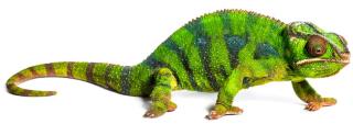 484_chameleon (2)